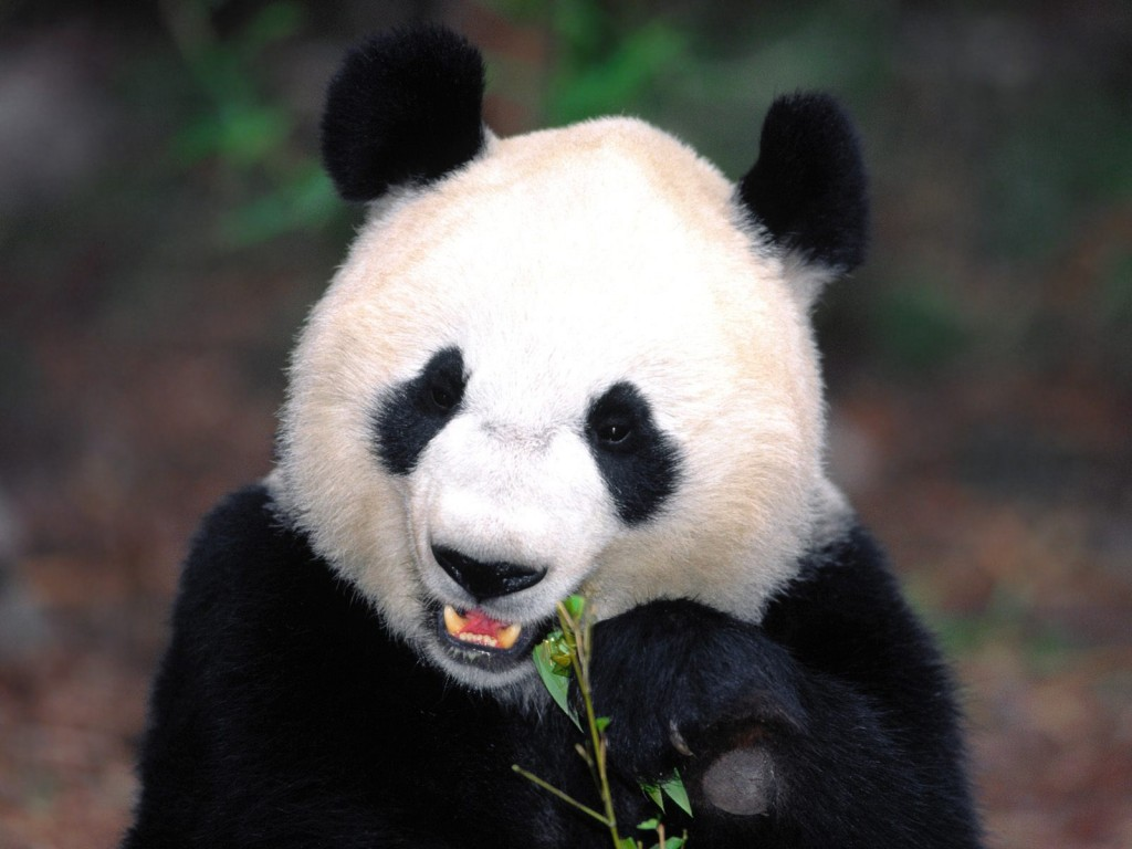China Giant Pandas  Facts  Tours  Photos